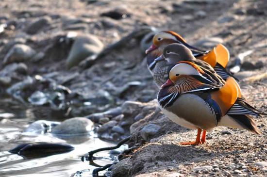 Certains affirment que c'est le plus beau canard au monde