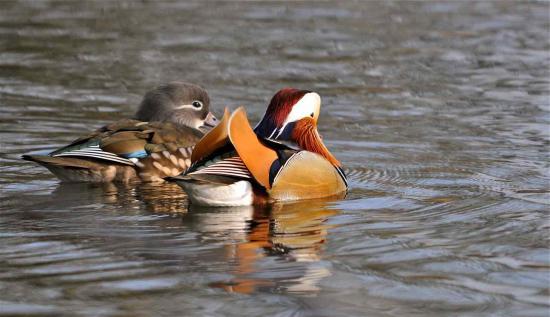 Le canard mandarin vit en couple toute sa vie