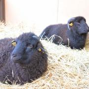 Les moutons noirs,place des Six Montagnes Noires