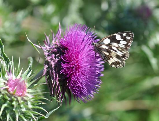 Le papillon demi-deuil participe à la pollinisation