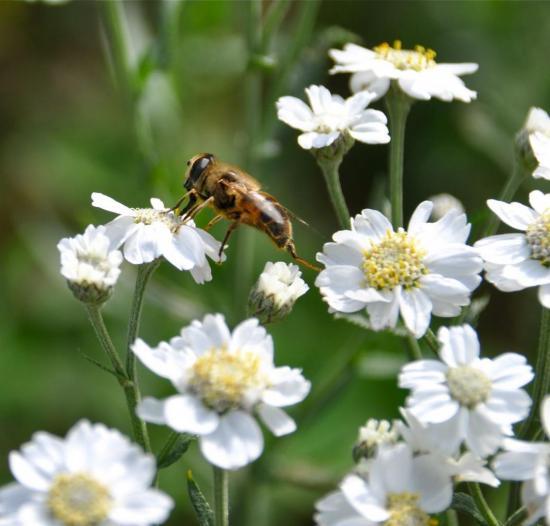 Un syrphe à la recherche de nectar...